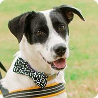 Adopt A Pet :: Domino - Greenwood, SC