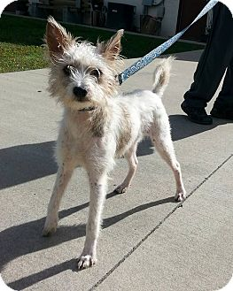 chinese crested terrier shinnston wv chinese crested terrier unknown type 5448