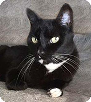 Domestic Shorthair Cat for adoption in Tiburon, California - Mellie