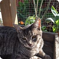 Adopt A Pet :: Tiger Lily - Los Angeles, CA
