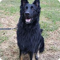 German Shepherd Dog Dog for adoption in Brookfield, Connecticut - Gideon