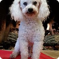 Toy Poodle Dog for adoption in West Linn, Oregon - Toby