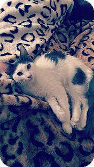 Domestic Mediumhair Kitten for adoption in Tampa, Florida - Charlie