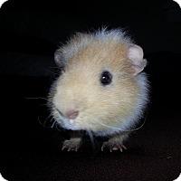 Adopt A Pet :: Spencer - Harleysville, PA