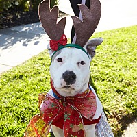 Pit Bull Terrier Dog for adoption in Redondo Beach, California - Gracie-ADOPT Me!