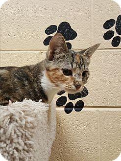 Calico Kitten for adoption in Smithfield, North Carolina - Nemsy