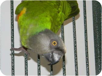Poicephalus (including Senegal and Meyer's) for adoption in Punta Gorda, Florida - Keiko