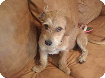 Terrier (Unknown Type, Small)/Basset Hound Mix Dog for adoption in Lynnville, Tennessee - Stewie