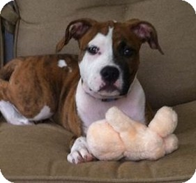 american bulldog terrier mix lucy adopted puppy north olmsted oh american 6281
