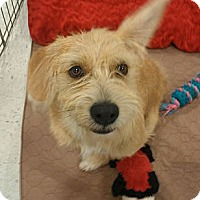 Adopt A Pet :: Roman - 3 legged cutie~! - Phoenix, AZ