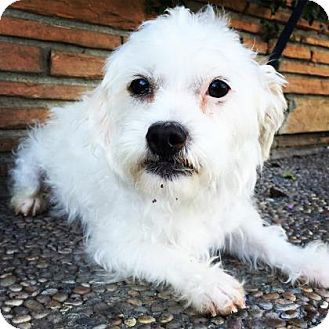 Maltese/Terrier (Unknown Type, Medium) Mix Dog for adoption in Santa Cruz, California - Cuddlebug