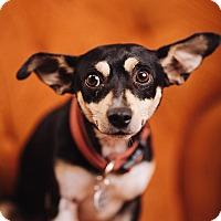 Adopt A Pet :: Linus - Portland, OR