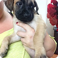 Adopt A Pet :: Marmaduke - San Diego, CA