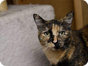 Oriental Cat for adoption in Eureka, California - Jazzy