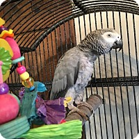 African Grey for adoption in Blairstown, New Jersey - Chris - congo