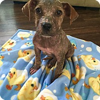 Adopt A Pet :: *AARF* - Ducky - Detroit, MI