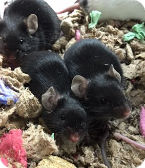 Mouse for adoption in Fairfax, Virginia - Eenie, Meenie, Miney, Moe and