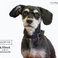 Adopt A Pet :: Alfred - Phoenix, AZ