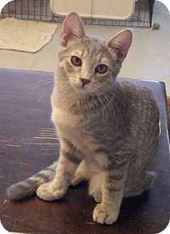 Domestic Shorthair Kitten for adoption in Quail Valley, California - Renoir