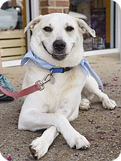 Labrador Retriever/Husky Mix Dog for adoption in Homewood, Alabama - Daisy