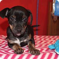 Adopt A Pet :: Pellegrino - Los Angeles, CA