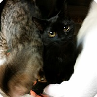 Domestic Shorthair Kitten for adoption in Chippewa Falls, Wisconsin - Carella