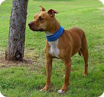 Staffordshire Bull Terrier/American Bulldog Mix Dog for adoption in Fulton, Missouri - BUDDY - Arizona