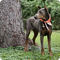 Doberman Pinscher Dog for adoption in Lafayette, Indiana - Geno