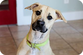 Shepherd (Unknown Type) Mix Dog for adoption in St. Charles, Missouri - Sampson