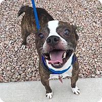 Boston Terrier/Chihuahua Mix Dog for adoption in Scottsdale, Arizona - Archie