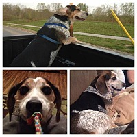 Beagle Dog for adoption in Indianapolis, Indiana - Jake