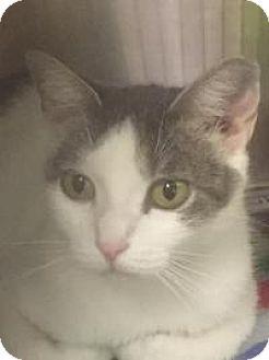 Domestic Shorthair Cat for adoption in Manchester, New Hampshire - Koshka-I'm at Petsmart!