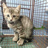 Domestic Shorthair Kitten for adoption in San Bernardino, California - URGENT on 10/19 San Bernardino