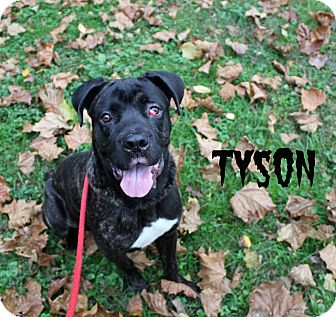 Cane Corso Dog for adoption in Melbourne, Kentucky - Tyson