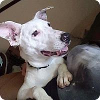 Adopt A Pet :: Chief - Winston-Salem, NC