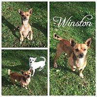 Chihuahua Mix Dog for adoption in Hope, British Columbia - Winston