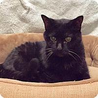 Adopt A Pet :: Mew - Fairfax, VA