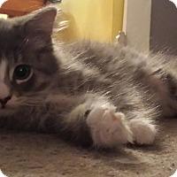 Domestic Longhair Kitten for adoption in Kalamazoo, Michigan - Amos - Chelsea