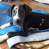 Adopt A Pet :: Dent-ON HOLD - Bridgeton, MO