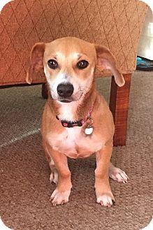 Dachshund/Beagle Mix Dog for adoption in Wharton, Texas - Elsa