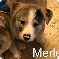 Adopt A Pet :: Merle - Chico, CA