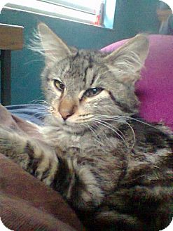 Maine Coon Kitten for adoption in Seminole, Florida - Vinnie