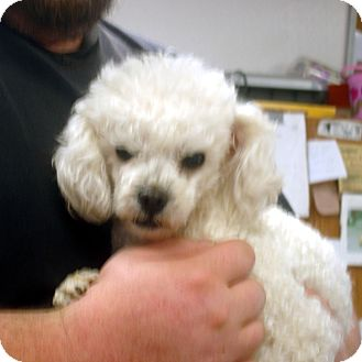 Toy Poodle Dog for adoption in baltimore, Maryland - Barbi