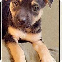 Adopt A Pet :: Konan tri colore pup - Sacramento, CA