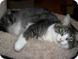 Domestic Mediumhair Cat for adoption in Schertz, Texas - Ringo Starr TL