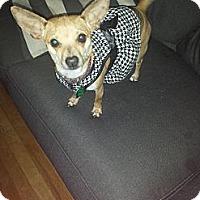 Adopt A Pet :: Petal - Ft. Collins, CO