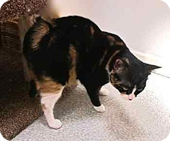 Manx Cat for adoption in Davis, California - Trixie