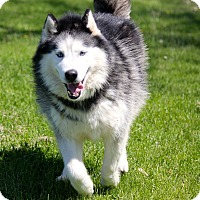 Siberian Husky Dog for adoption in Sycamore, Illinois - Seamus