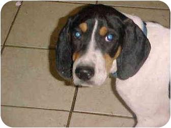 Treeing Walker Coonhound Puppy for adoption in Cincinnati, Ohio - Walker: PUREBRED