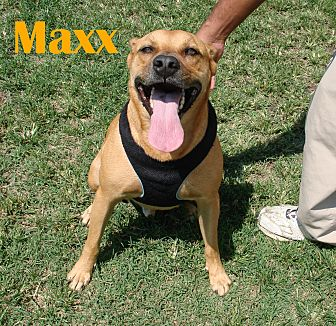 Shepherd (Unknown Type) Mix Dog for adoption in Orangeburg, South Carolina - Maxx